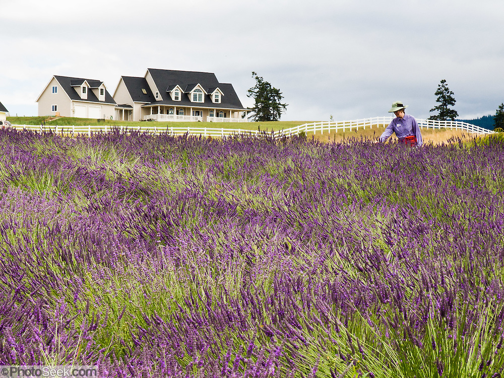 Purple lavender flower fields grow at Purple Haze Lavender Farm. The Sequim Lavender Festival is held mid July on the Olympic Peninsula in Washington, USA. Lavender is a flowering plant in the mint family (Lamiaceae).