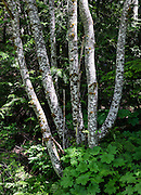 Alder tree trunks form spotted white on dark pattern in a forest. Hike the Beckler Peak Trail, 7.4 miles round trip with 2200 feet gain, in Mount Baker-Snoqualmie National Forest, Washington, USA. See vistas of the town of Skykomish, Skykomish Valley, and Alpine Lakes Wilderness, Wild Sky Wilderness and Henry M. Jackson Wilderness. Directions: Drive US Highway 2 to near Milepost 52, and turn north onto Forest Service Road 6066. Drive 6.6 miles on a gravel road to the Jennifer Dunn Trailhead.