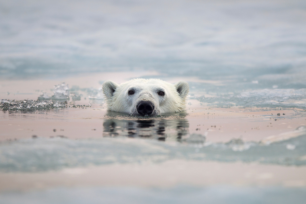 Canada, Manitoba, Churchill, Polar Bear (Ursus maritimus) swims beneath melting sea ice in Hudson Bay on summer evening
