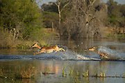 Impala (Aepyceros melampus) running through water<br /> Moremi Game Reserve, Okavango Delta<br /> BOTSWANA<br /> HABITAT &amp; RANGE: Savannas and thick bushveld in Kenya, Tanzania, Swaziland, Mozambique, northern Namibia, Botswana, Zambia, Zimbabwe, southern Angola, northeastern South Africa and Uganda