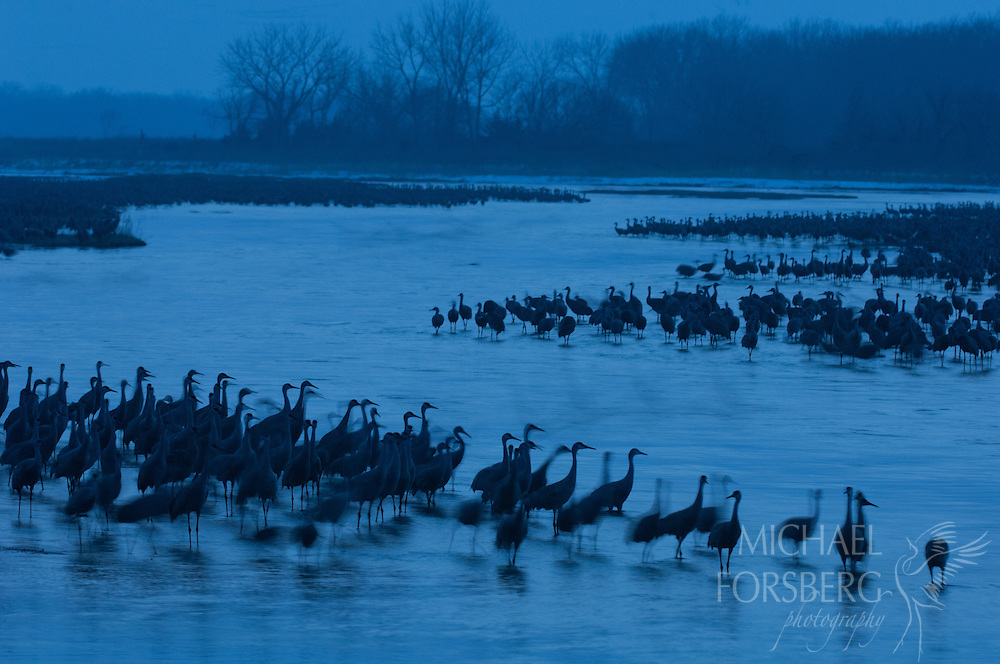 Platte River, Nebraska<br /> <br /> Migrating Sandhill cranes on roost at twilight.
