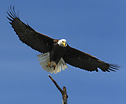 This bald eagle was photographed near the mouth of the Elwha River (the lower river where it meets the Strait of Juan de Fuca). A healthy river with salmon attracts eagles. (Steve Ringman / The Seattle Times)