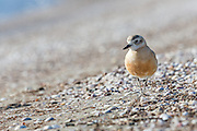 New Zealand Dotterel are one NZ's rarest birds, due to their love of coastal habitat, which in summer happens to be the favorite playground of people.