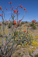 Ocotillo (Fouquieria splendens) and Prickly Pear (Opuntia) at Big Bend Ranch State Park, Texas