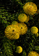 Elegant yellow Protea flowers stand out against dark green foliage on a rainy spring day.