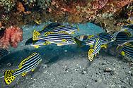 Indian Ocean oriental sweetlips-Gaterin rayé (Plectorhinchus vittatus), Bali island, Indonesia.