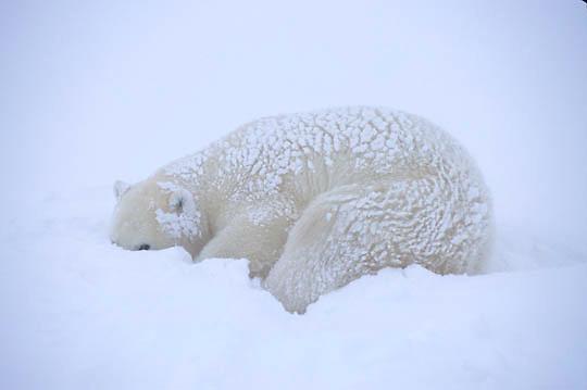 Polar Bear, (Ursus maritimus) Churchill, Manitoba. Canada. Resting.