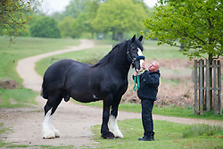 © Licensed to London News Pictures. 14/05/2012. Richmond, UK. Royal Parks Shire horse Jed who will be officially retired tomorrow (May 15) in a ceremony held by The Queen at the stables in Richmond Park in Richmond, London. Jed, who stands at 17.3 hands tall, was born in 1993 and joined The Royal Parks from the Brass Brewery in Burton Upon Trent almost 10 years ago. Pictured here with shire horse staff Steve Green. Photo credit : Ben Cawthra/LNP