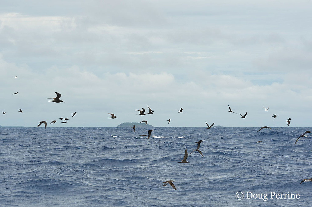"feeding seabirds, mostly brown noddy terns, Anous stolidus, and white terns, Gygis alba, mark a school of skipjack tuna, Vava'u, Kingdom of Tonga, South Pacific (""mutton bird"" at lower center)"