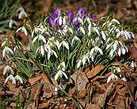Backyard Garden with early blooming Snow Drops and Purple Crocus flowers. Winter Backyard Nature in New Jersey. Image taken with a Leica TL-2 camera and 55-135 mm lens (ISO 100, 113 mm, f/6.3, 1/640 sec).