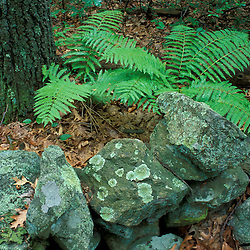 A stone wall, ferns, and the trunk of an oak tree near Meadow Pond on land recently protected by TPL.  Stephenson's Way.  Groveland, MA