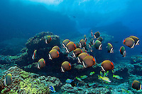 School of Red Tailed Butterflyfishes and Breaking Waves above.