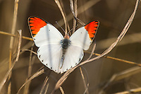 Red-tip butterfly - Colotis antevippe, Unguane, Inhambane Province, Mozambique