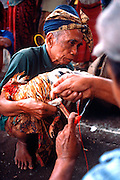 INDONESIA, BALI, VILLAGE LIFE cockfighting; blade on leg of rooster