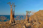 Bottle tree (Adenium obesum subsp. socotranum)