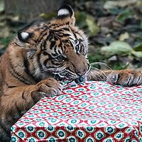 Tigers and meerkats enjoy Christmas treats at ZSL London Zoo