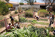Manzo Elementary School students work in the school's organic garden, Tucson, Arizona, USA.  The school was the first in TUSD to be certified for garden to cafeteria food consumption and first in the state of Arizona for rainwater harvesting and composting. The  garden projects in the district work with internationally known Biosphere2 and the University of Arizona. The garden was built in conjunction with the National Park Foundation's First Bloom program. The project is supported in part by a USDA Farm-to-School grant.  Named Best Green School 2012 by the U.S. Green Building Council, Manzo is the only K-5 public school in the United States to receive that honor in response to their environmental initiatives.