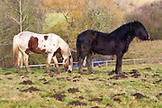 Horses in a paddock, Gloucestershire, United Kingdom