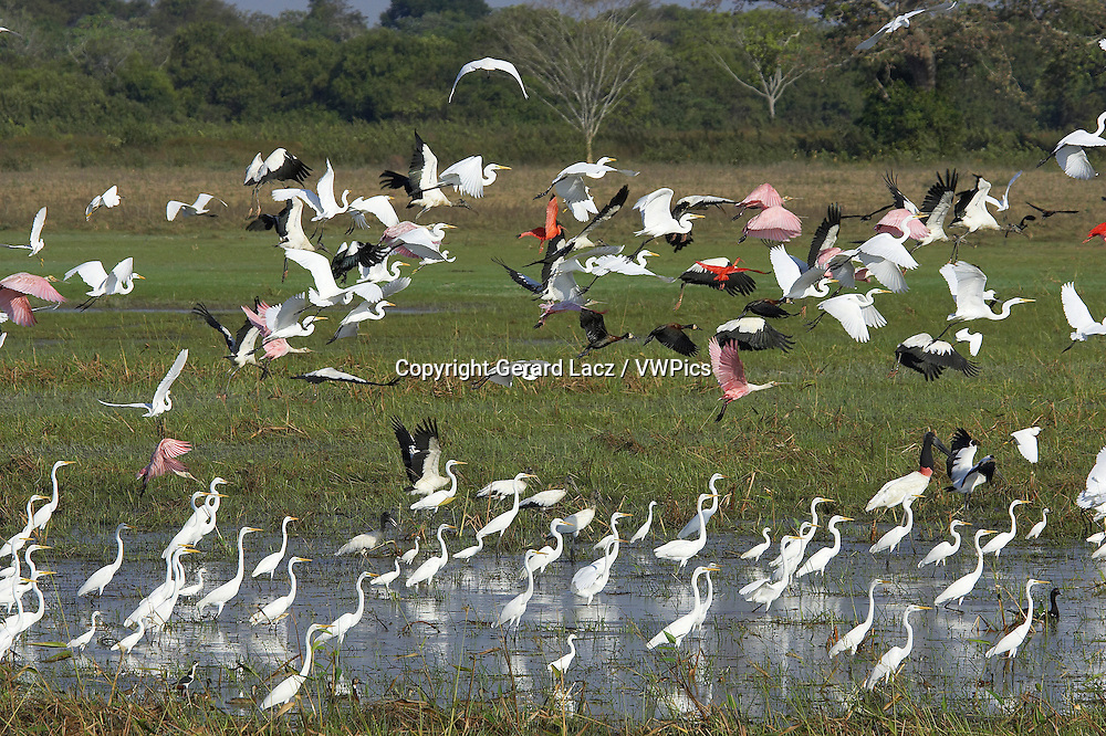 Great White Egret, casmerodius albus, Group standing in Swamp with Scarlet Ibis, Red-billed whistling duck, Roseate spoonbill and White-faced whistling duck, Flight, Los Lianos in Venezuela