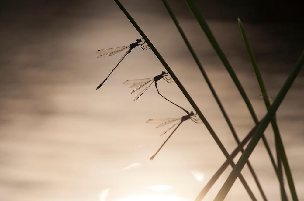 Spread-winged Damselflies, Family Lestidae;<br /> Photographers:  Bill Harvey &amp; R. Dean Johnstone<br /> Properties:  Formosa Tejano Wetlands / Formosa Plastics Corp.-Texas &amp; Serenity Now Photo Ranch / R. Dean Johnstone<br /> Jackson/Calhoun Counties