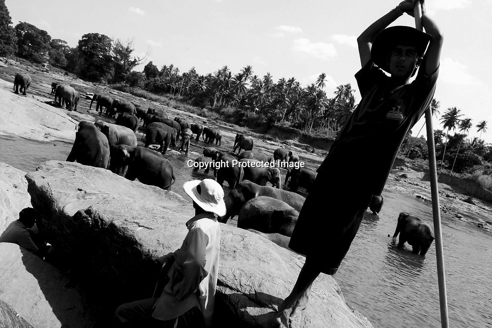 """PINNAWELA, OCTOBER-3 : mahout Mandru looks out while the herd takes a bath in Pinnawala, October 3, 2005, Sri Lanka. The 35 mahouts of the Pinnawala orphanage are in charge of 75 elephants which is a heavy task. it takes about 6 months training to learn the """"elephant language"""" and years of expirience too become a good elephant keeper. Mahouts are well paid and therefore there's no shortage of applicants .PINNAWELA, OCTOBER-3 : an elephant greets a visitor   in Pinnawela, October 3, 2005, Sri Lanka.   .The Pinnawela orphanage was started in 1975 and initially designed to afford care and protection to the many baby elephants found in the jungle without their mothers. In most cases the mother either had died or been killed. .Animals are allowed to roam freely duringthe day and a herd structure allows to form. there are only a few elephant orphanges worldwide. At Pinnawela an attempt was made to simulate, in a limited way, the conditions in the wild. Currently the herd consists of 75 elephants under the surveillance of legendary  Mahout chief Sumanabanda."""