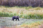 Grizzly Bear searching for food in Grand Teton National Park