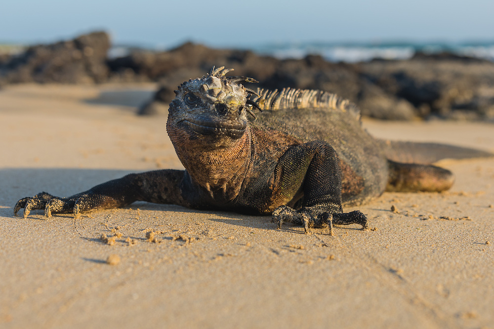 Marine iguana walking on the beach, San Cristobal, Galapagos, Ecuador.
