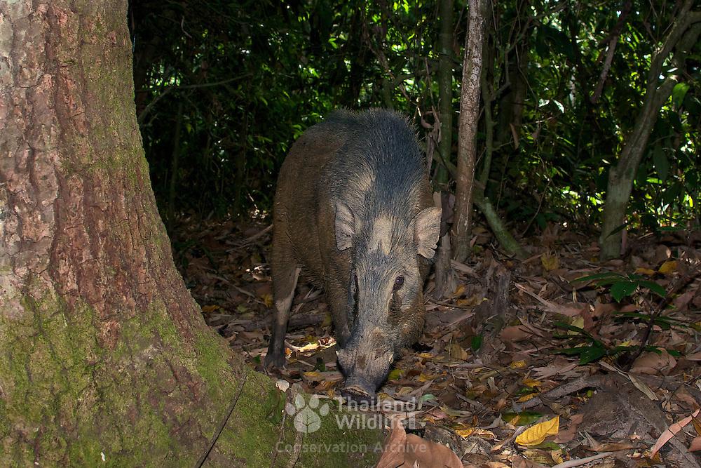 Wild boar or wild pig (Sus scrofa) in Kaeng Krachan National Park, Thailand.