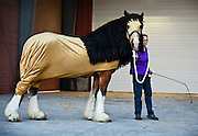 Laura Lee Huyck of Wayne, Neb., waits to bring her lion costumed horse into the arena during the Draft Horse Hitch Show Friday evening outside the Five Points Bank Arena at the Nebraska State Fair in Grand Island. (Independent/Matt Dixon)