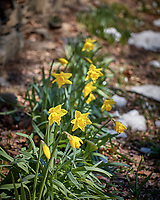 Spring Daffodils. Image taken with a Leica CL camera and 60 mm f/2.8 lens (ISO 100, 60 mm, f/2.8, 1/1250 sec).