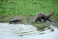 Giant River Otter (Pteronura brasiliensis) mother and baby,  The Pantanal, Mato Grosso, Brazil
