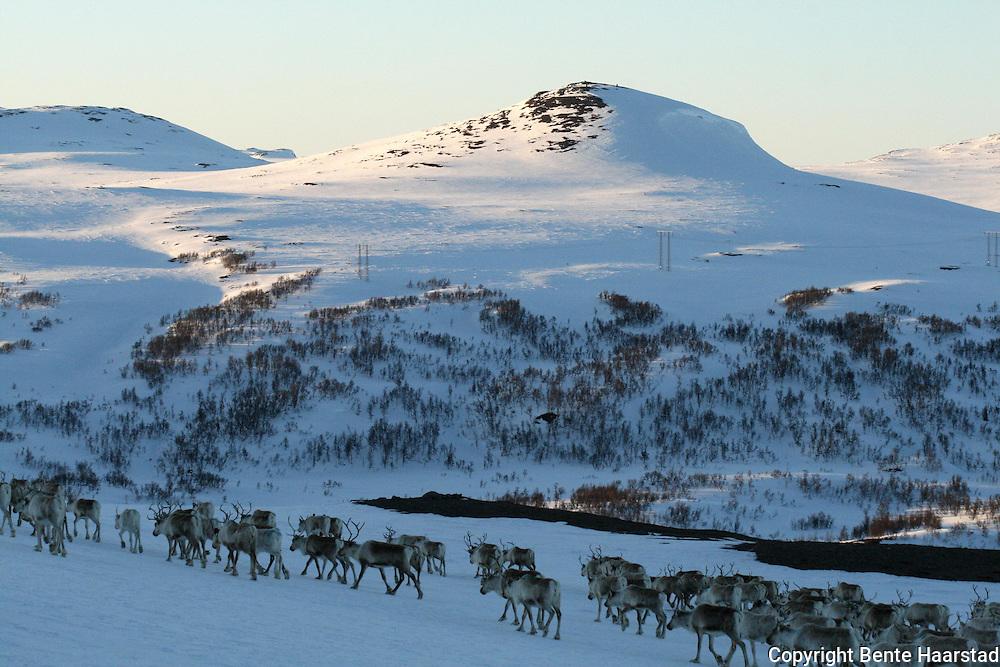 I bakgrunnen Sankåkleppen og Gardkleppen. Going to summer pastures. Vårflytting i Saanti Sijte (Essand reinbeitedistrikt).