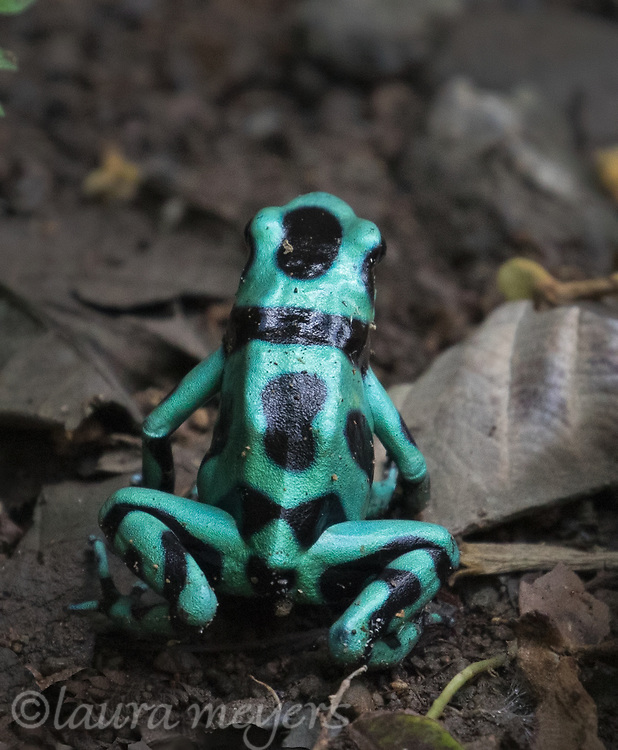 Black-and-green poison dart frog on the ground at Selva Verde Lodge in Chilamate, Costa Rica