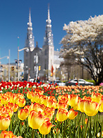 Bright colorful tulips with Notre-Dame Cathedral Basilica in the background during the tulip festival in Ottawa, Ontario, Canada. May 2017