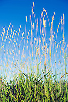 Tall grass in a field&amp;#xA;<br />