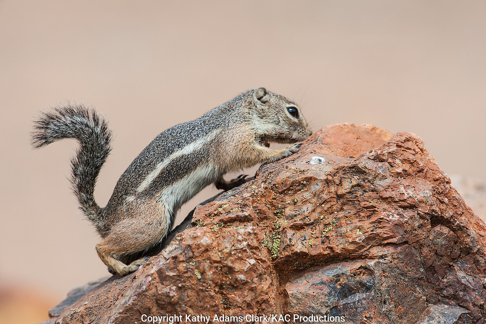 Harris's antelope squirrel, Ammospermophilus harrisii, walking on rock in southern Arizona in the spring.