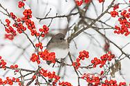 01569-01806 Dark-eyed Junco (Junco hyemalis) in Winterberry bush (Ilex verticillata) in winter Marion Co. IL