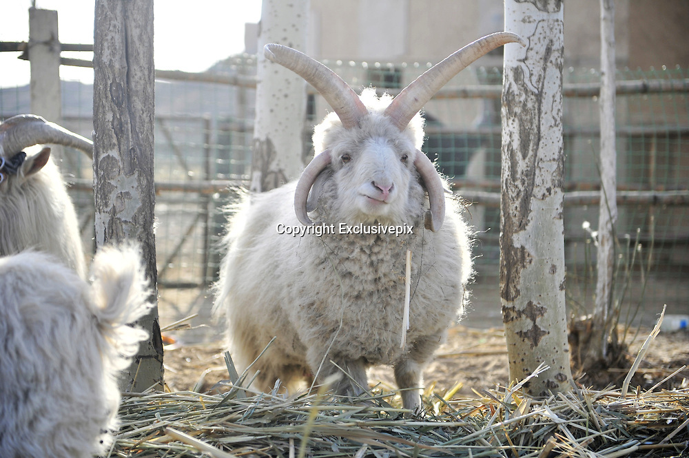 YINCHUAN, CHINA - MARCH 02: (CHINA OUT) <br /> <br /> &quot;X-Goat&quot; <br /> <br /> A goat with four horns that looks like a shape of &quot;X&quot; is seen  in Yinchuan, Ningxia Hui Autonomous Region of China. <br /> &copy;Exclusivepix