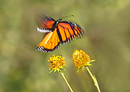 A Monarch Butterfly in ethereal looking motion blur, Flying above yellow flowers, Danaus plexippus; Plenty Of Space For Copy, Southwestern Ohio, USA