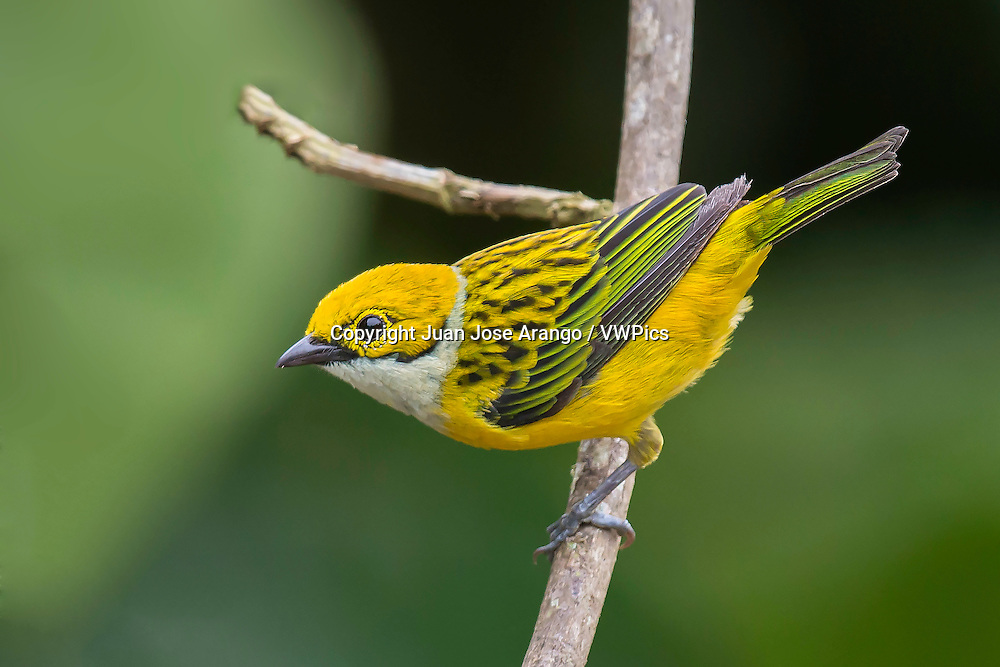 Silver-throated Tanager (Tangara icterocephala), Anchicaya, Valle del Cauca