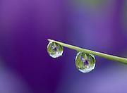 Dew Drop Iris