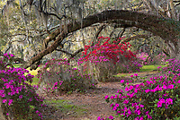 Beautiful arching branches of a large Live Oak Tree frame an avenue of flowering spring azalea at Magnolia Plantation & Gardens in the Lowcountry of South Carolina