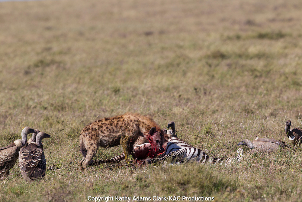 Spotted jyaena, feeding on a zebra that has recently died, with Ruppell's griffon vultures, on the short grass plains, in the Ngorongoro Conservation Area, near Ndutu, Tanzania, Africa.