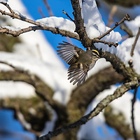Gold-crowned Kinglet flying between branches