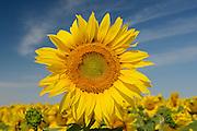 Sunflowers<br /> Dugald<br /> Manitoba<br /> Canada