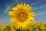 Sunflowers<br /> Dugald<br /> Manitoba<br /> Canada