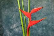 Bird of Paradise flower with three stalks.