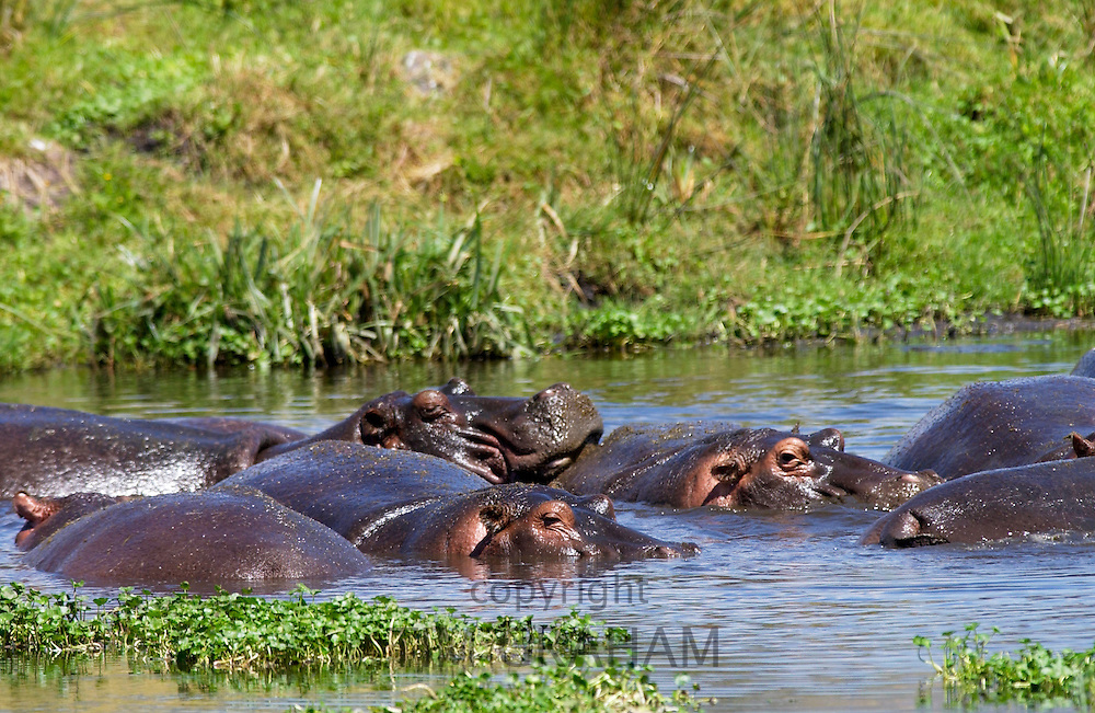 Hippopotamuses, Ngoro, Tanzania, East Africa