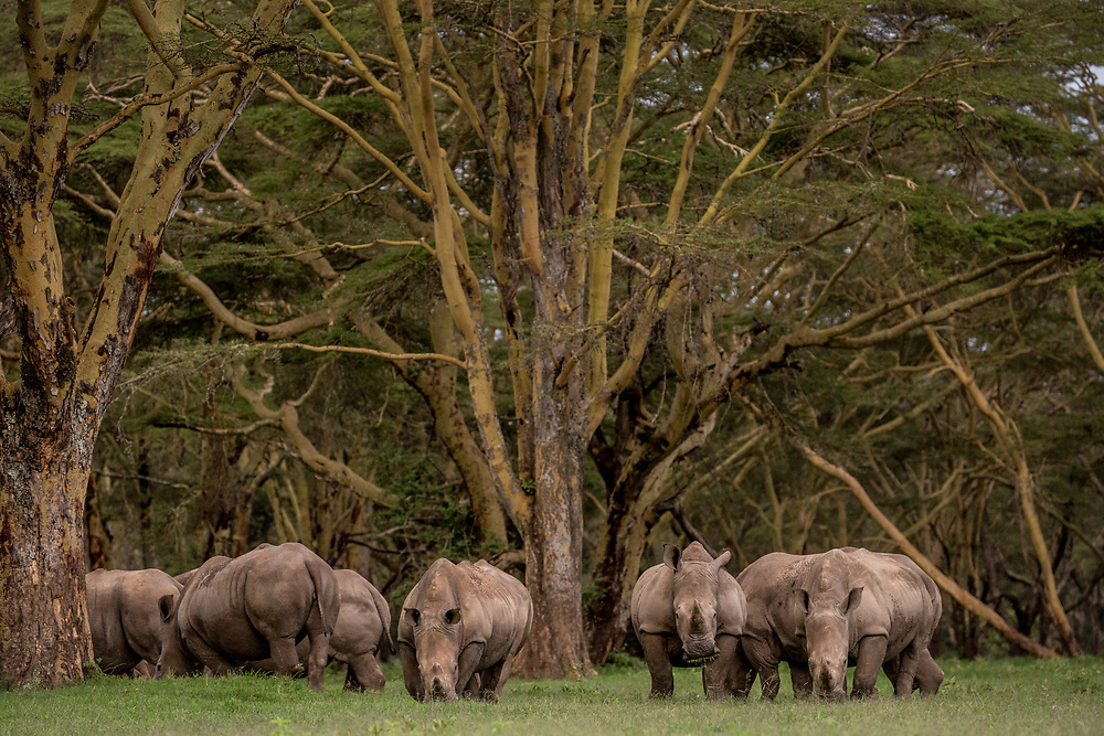 White Rhinos among fever trees