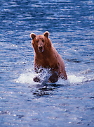Image of a grizzly bear (Ursus arctos horribilis) splashing in the water at Brooks Falls, Katmai National Park, Alaska, Pacific Northwest